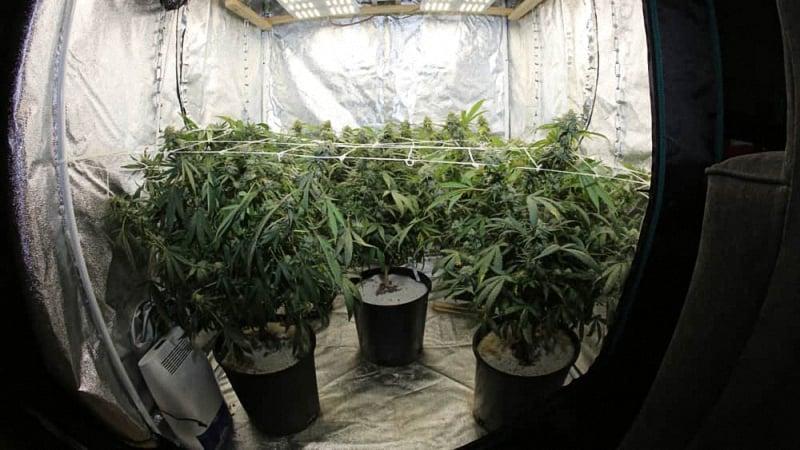 Inside a cannabis grow tent with multiple cannabis plants
