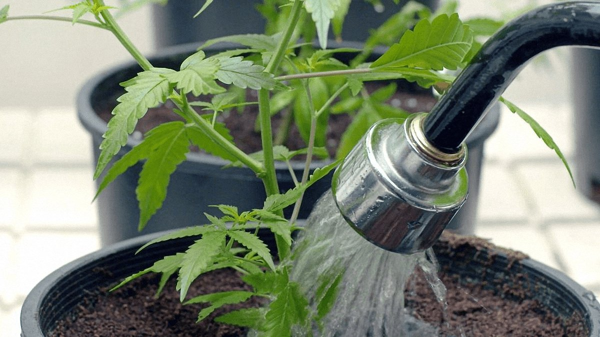 Close up image of watering cannabis plants