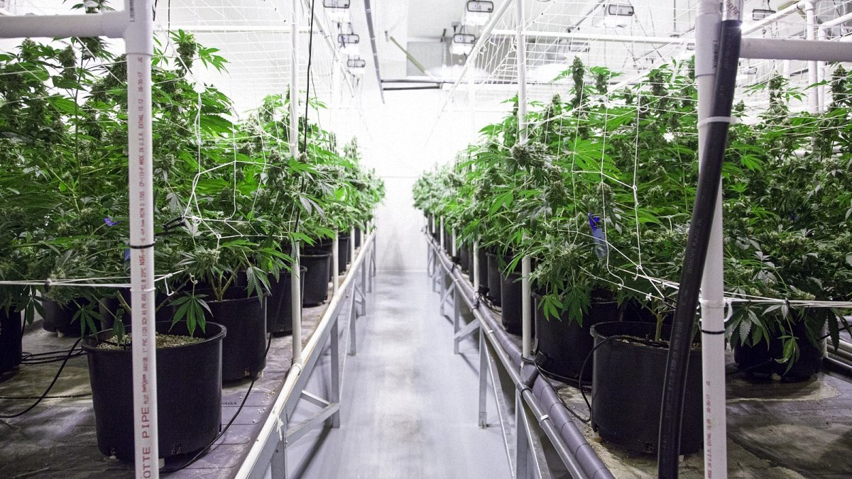 Inside a weed farm between an aisle of many grow boxes