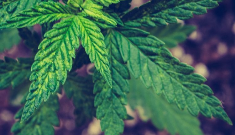 Close up image of marijuana plant leaves and soil in the background