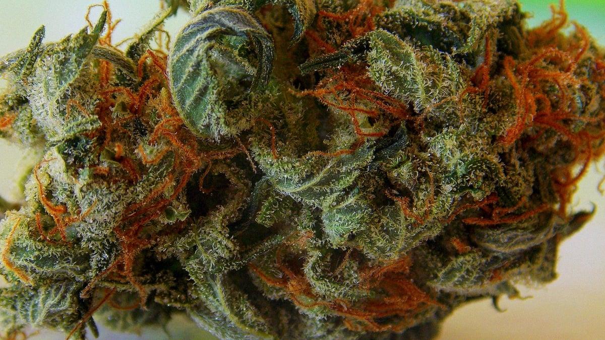 Close up image of a cannabis orange bud