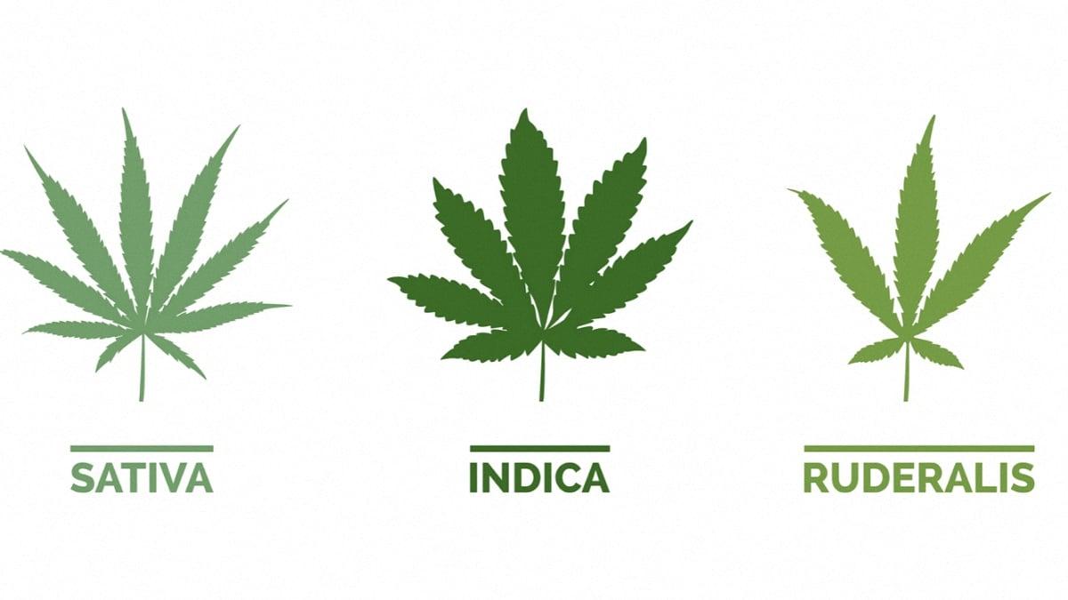 Hand-drawn image of cannabis sativa indica and ruderalis