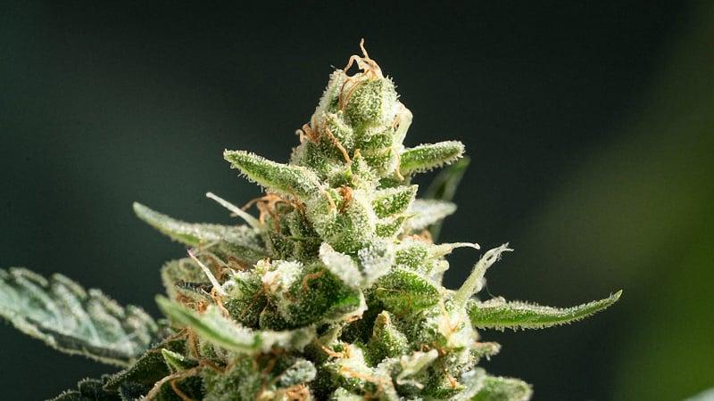 Northern light cannabis plant