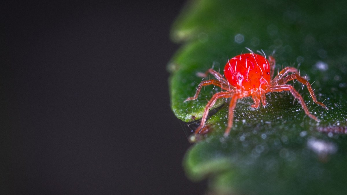 Spider Mites on Weed Plants: How to Get Rid of Them for Good