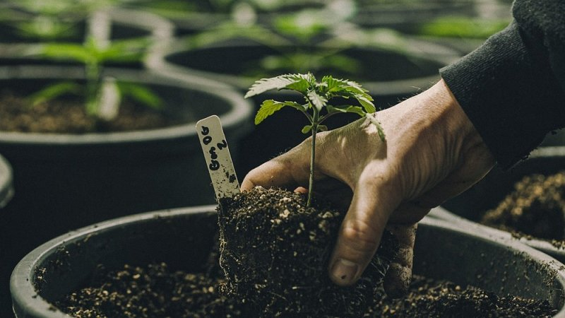 A person tending to a cannabis plant growing in a black grow box