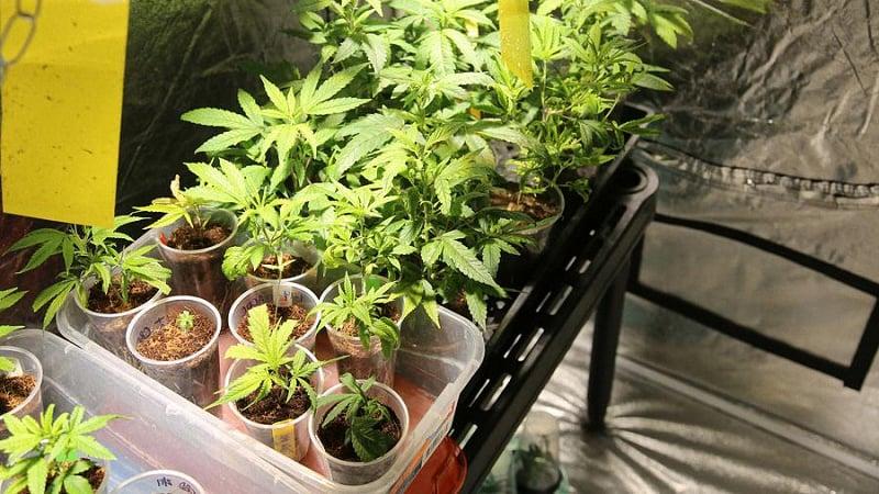 Multiple cannabis plants set up inside a grow tent