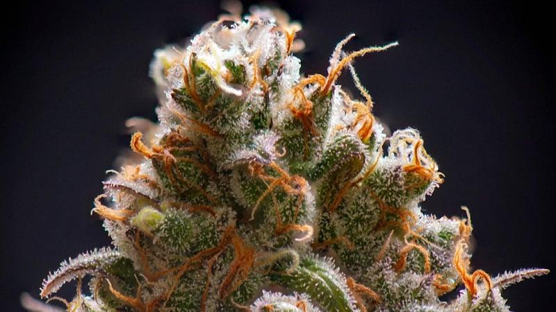Sativa strain buds in a black background
