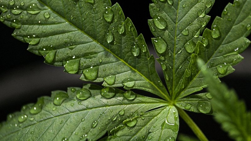 Close up image of a marijuana leaf with droplets of water on it